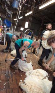 sheep shearing shearer hard at work