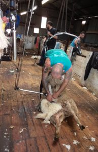 sheep shearing shearer shearing