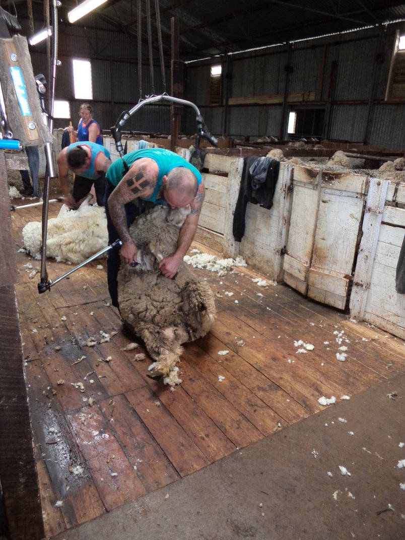 sheep shearing shearer shearing a sheep