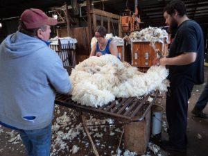 sheep shearing wool classers